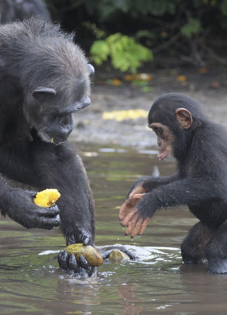 chimpancé bebe agua 6