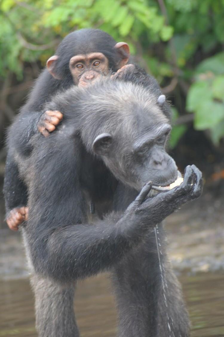 chimpancé bebe agua 7