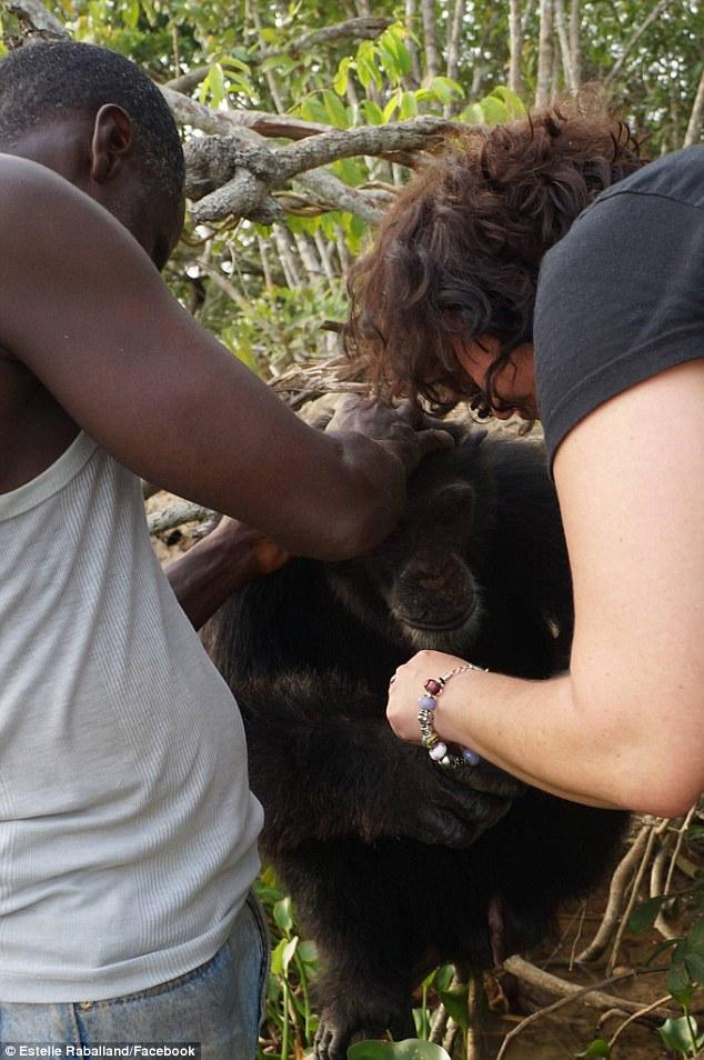 chimpance ponso abraza visitante 1