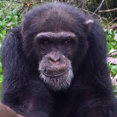 chimpance ponso abraza visitante 11