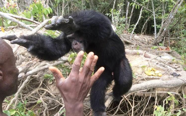chimpance ponso abraza visitante 12