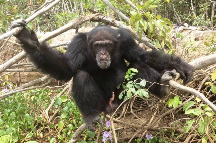 chimpance ponso abraza visitante 14