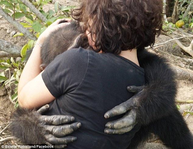 chimpance ponso abraza visitante 2