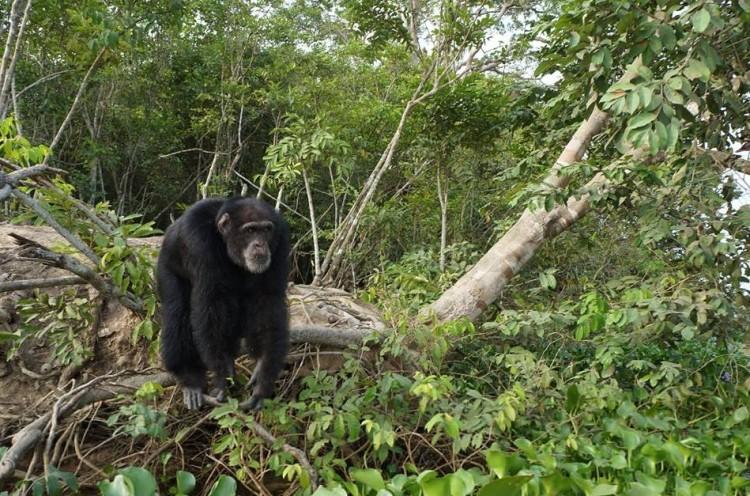 chimpance ponso abraza visitante 4