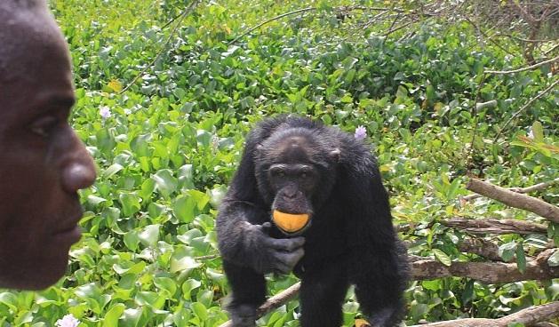 chimpance ponso abraza visitante 6