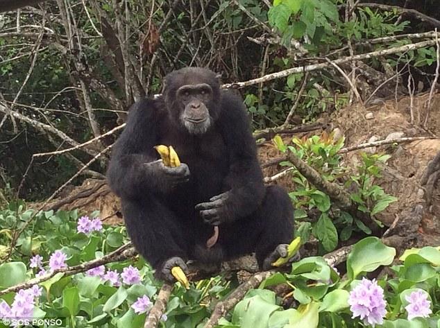 chimpance ponso abraza visitante 7