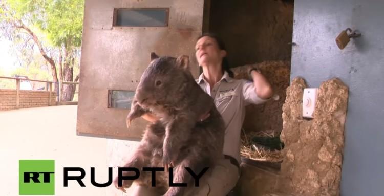 el wombat más grande del mundo 1