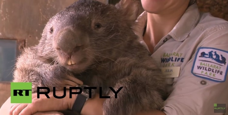 el wombat más grande del mundo 2