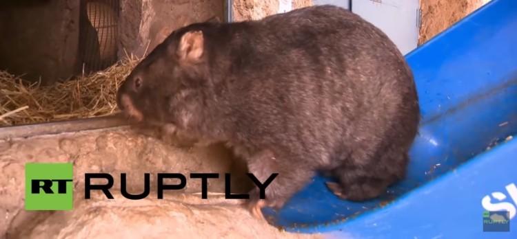 el wombat más grande del mundo 4