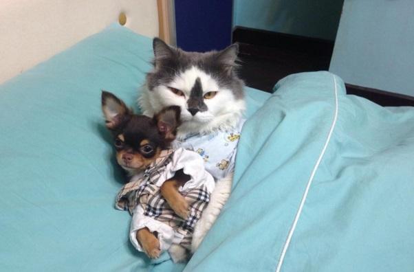 gato lider de chihuahuas 5