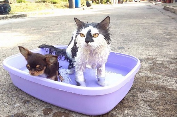 gato lider de chihuahuas 6