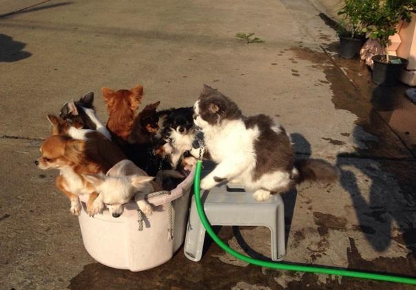 gato lider de chihuahuas 9