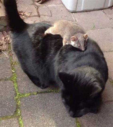 gatos y zarigueyas 1