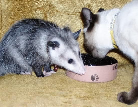 gatos y zarigueyas 2