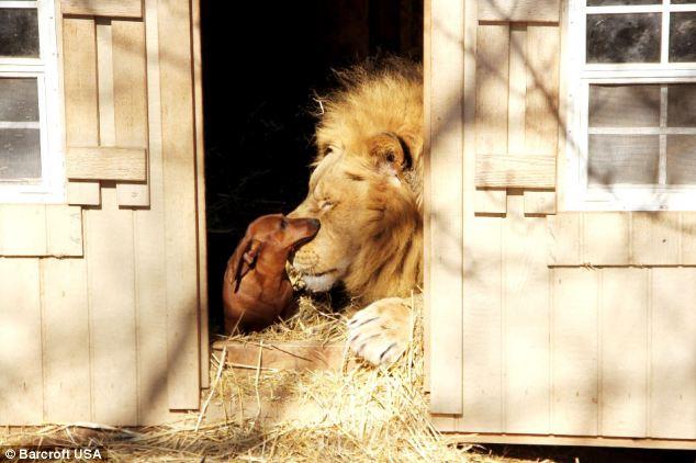 leon-perro-amigos10