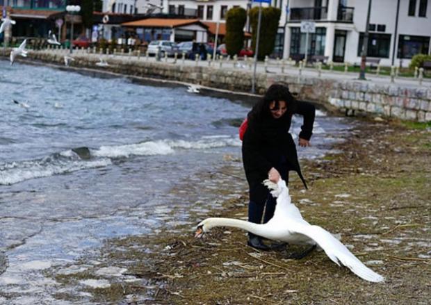 mato-a-cisne-porque-no-queria-aparecer-en-su-selfie5