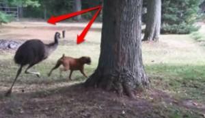 perrita-emu-corriendo