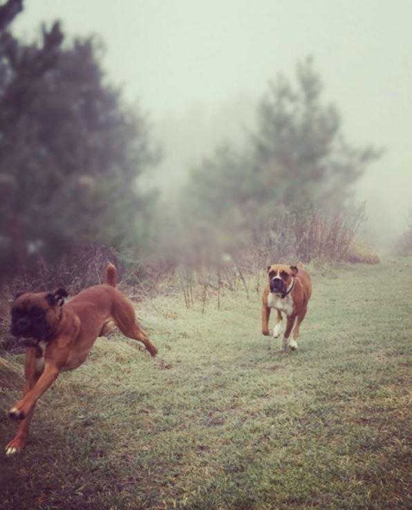 perros de peleas ontario 2