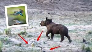 rinoceronte-bebe-juega-con-pajaritos3