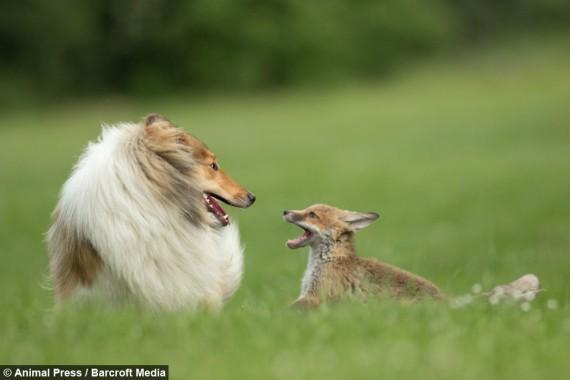 zorro y collie 7