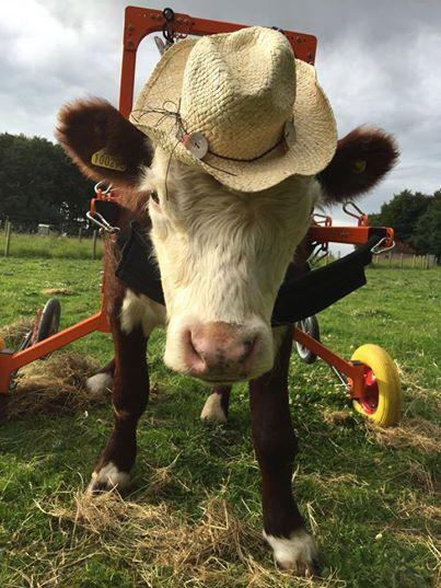 Bull tiene su silla de rueda 1
