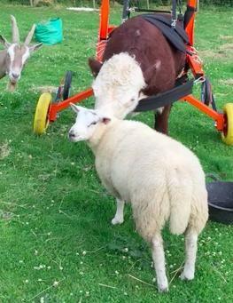 Bull tiene su silla de rueda 3