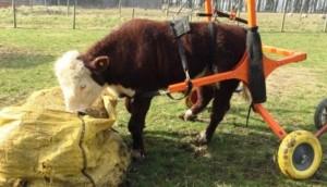 Bull tiene su silla de rueda 6