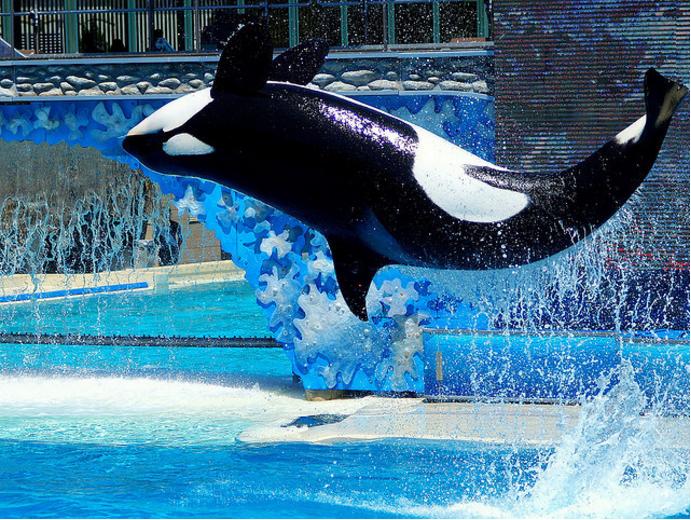 Kasatka seaworld orca