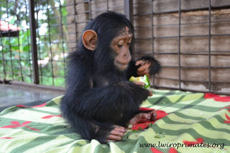 bebe-chimp-enjaulado3