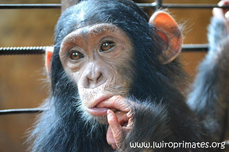 bebe-chimp-enjaulado4