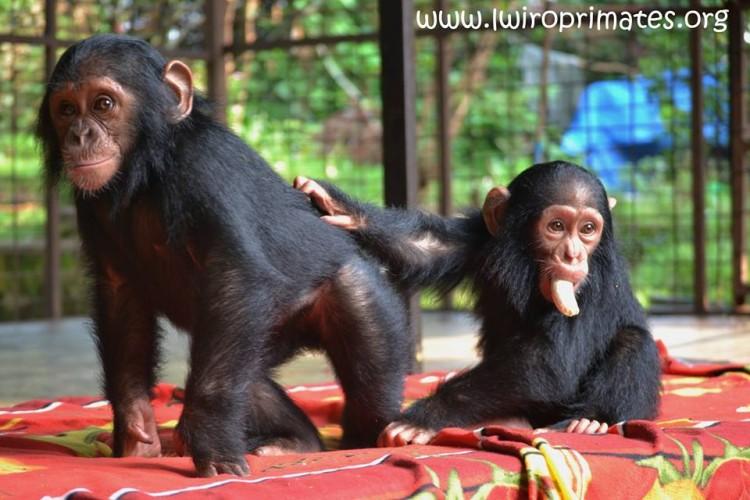bebe-chimp-enjaulado5