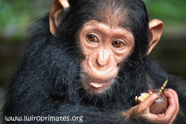 bebe-chimp-enjaulado6