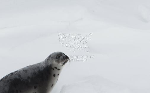 caza-focas-canada-1