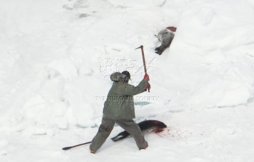 caza-focas-canada-2