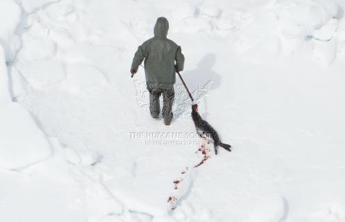 caza-focas-canada-3