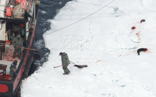 caza-focas-canada-4