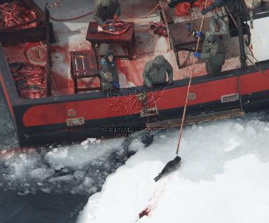 caza-focas-canada-5