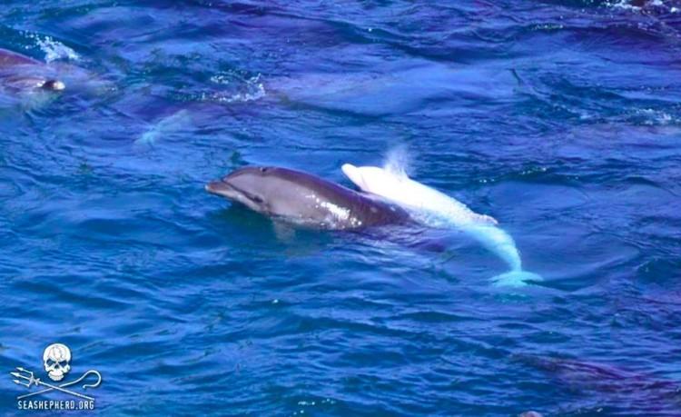 delfin-albino3