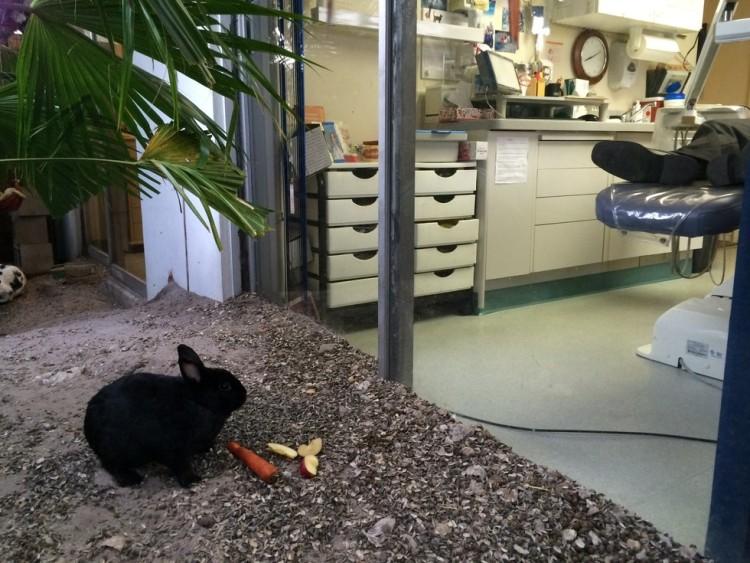 dentista-conejos6