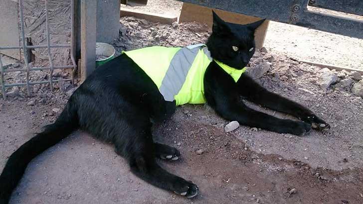 gato black 6
