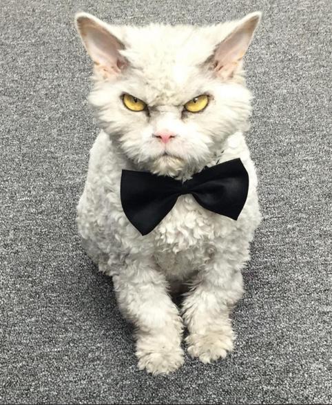 gato que nacio para juzgarte elegante
