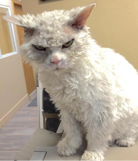 gato que nacio para juzgarte mirada maligna