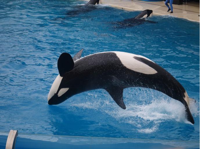 ikaika orca seaworld