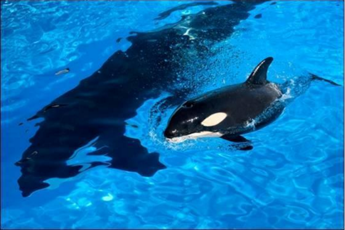 makaio orca seaworld