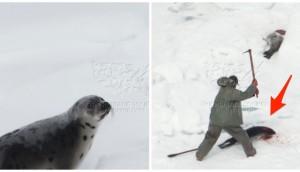 matanza-focas-canada