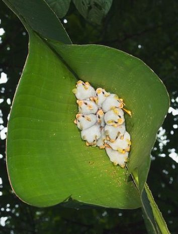 murcielagos blancos hondureños 3