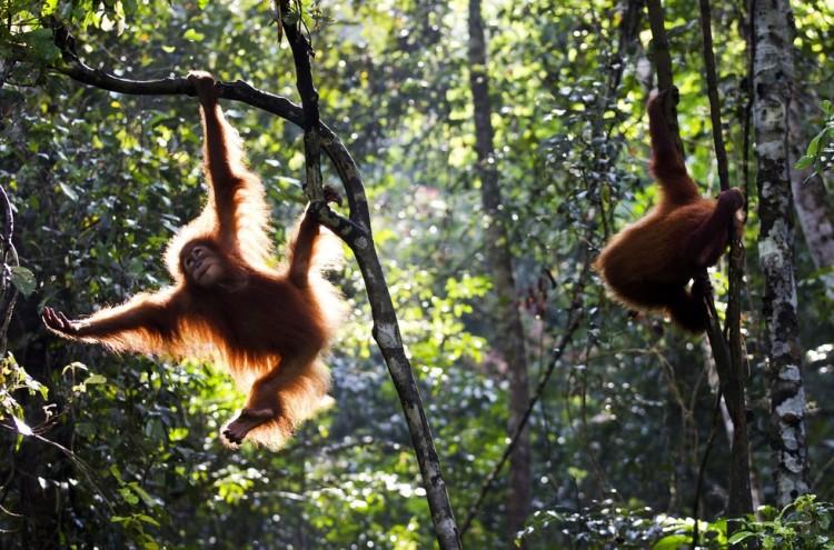 orangutan-secuestrado-regresa-a-Indonesia7