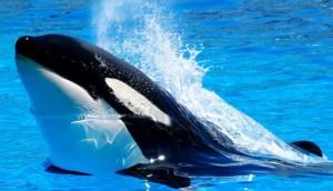 orca destacada