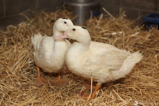 patos-rescatados1