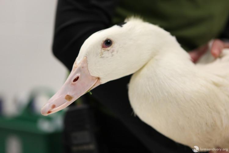 patos-rescatados2